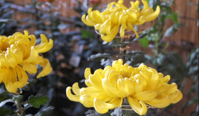 Japanese Chrysanthemum-1